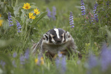 Badger in a Meadow  Montana  Usa