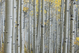 Colorado  Gunnison National Forest  Aspen Trunks with Autumn Color