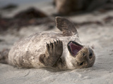 California  La Jolla Baby Harbor Seal on Beach