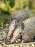 Louisiana  Lake Martin Two Nine-Banded Armadillo Young