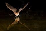 Arizona  Pallid Bat Drinking