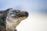 Close-Up of an Iguana on the Beach Near Staniel Cay  Exuma  Bahamas