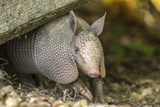 Louisiana  Lake Martin Young Nine-Banded Armadillo