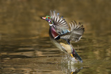 Wood Duck Male Takeoff from River
