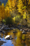 Fall Color Is Reflected Off a Stream Flowing Through an Aspen Grove in the Sierras