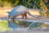 Nine-Banded Armadillo Drinking