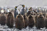 South Georgia Island  Salisbury Plains Adult King Penguins Amid Juveniles During Rainstorm