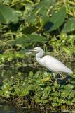 Florida  Orange City  St John River  Egret