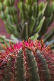 Spain  Canary Islands  La Gomera  San Sebastian De La Gomera  Cactus Detail