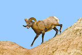 South Dakota  Badlands National Park  Full Curl Bighorn Sheep Climbing Down Roadside Hill