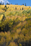 Colorado Autumn Yellow Aspen and Fir Trees  Uncompahgre National Forest