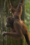 Mother Orangutan and Baby Hanging from a Tree  Sabah  Malaysia
