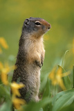 Columbian Ground Squirrel Among Glacier Lilies  Glacier National Park  Montana  Usa