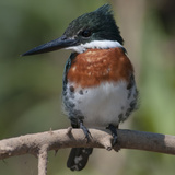 Brazil  the Pantanal Wetland  Green Kingfisher Sitting on a Branch in Early Morning Light