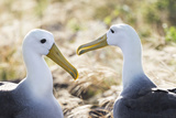 Ecuador  Galapagos Islands  Espanola  Punta Suarez  Waved Albatrosses Interacting