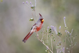 Pyrrhuloxia Male Perched in Sweet Stem