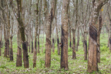 Vietnam  Dmz Area Quang Tri Province  Rubber Tree Plantation