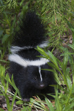 Striped Skunk Kit