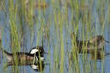 Pair of Hooded Mergansers  Lophodytes Cucullatus  Viera Wetlands  Florida  Usa