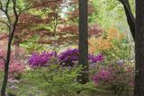 Azaleas and Japanese Maples at Azalea Path Arboretum and Botanical Gardens  Hazleton  Indiana