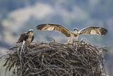 Wyoming  a Young Osprey Flaps it's Wings in Preparation for Fledging as Adult Looks On
