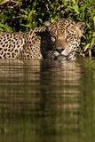 South America  Brazil  Pantanal Wetlands  Jaguar Preparing to Cross the Three Brothers River