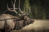 Mud Covered Antlers   Rut  Cervus Elaphus  Madison River  Yellowstone National Park  Wyoming