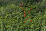 Scarlet Ibis  Shell Beach  North Guyana