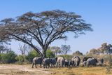 Botswana Breeding Herd of Elephants Gathering under an Acacia Tree