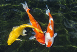Koi  Valley of the Temples  Kaneohe  Oahu  Hawaii