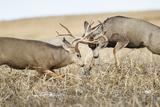 Mule Deer Bucks Fighting During Rut