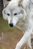 Gray Wolf  Canis Lupus  West Yellowstone  Montana