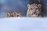 Snow Leopards  Montana  Usa