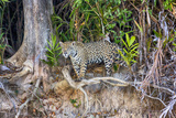 Brazil  Mato Grosso  the Pantanal  Rio Cuiaba Jaguar Looking Out from Jungle on the River Bank