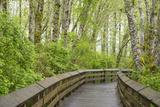 Washington State  Sandpiper Trail Boardwalk in Alder Tree Grove