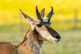 South Dakota  Custer State Park Pronghorn Buck Portrait
