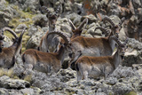 Africa  Ethiopian Highlands  Western Amhara  Simien Mountains National Park Group of Walia Ibex