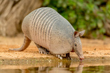 Texas  Gatesville  Santa Clara Ranch Nine-Banded Armadillo Drinking