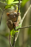 Philippine Tarsier Reaching for a Branch  Bohol  Philippines