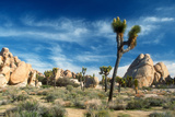 Joshua Trees Among the Large Granite Rocks of Joshua Tree National Park