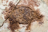 Semionotus Fish Fossil at Dinosaur Discovery  Johnson Farm  St George  Utah