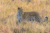 Botswana Okavango Delta Khwai Concession Leopard Starts to Hunt