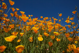 California Poppies in Rattlesnake Canyon