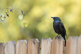 Wyoming  Sublette County  a Common Grackle Sits on a Fence in a Rainstorm