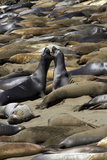 Northern Elephant Seals Fighting  Piedras Blancas Elephant Seal Rookery  California