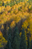 Colorado Autumn Yellow Aspen and Fir in the Uncompahgre National Forest