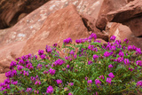 Wildflowers  Canyon De Chelly National Monument  Usa