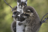 Two Baby Raccoons Find Protection in a Tree  Montana  Usa