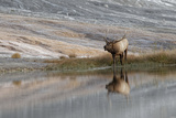 Bull Elk Reflecting on Pond at Base of Canary Spring  Yellowstone National Park  Wyoming