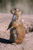 Black-Tailed Prairie Dog Standing  Badlands National Park  South Dakota  Usa